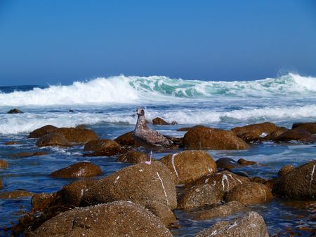 Juvenile Western Seagull standing on a rock with a huge wave crashing behind it. Stock Photo - 4203573