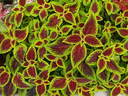 groundcover: Close-up of red and green coleus. Stock Photo