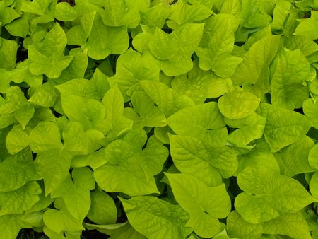 groundcover: Ornamental sweet potato vine used to fill a flower bed.