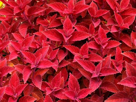 groundcover: Red Coleus used as a groundcover to fill a flowerbed.