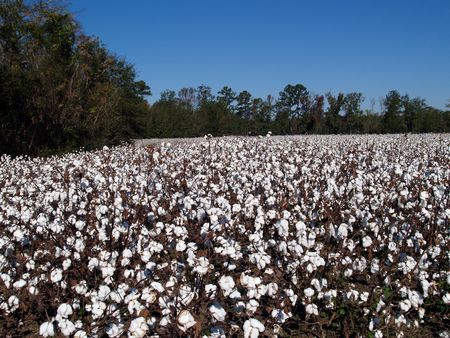 Cotton field in Georgia that is ready to be harvested