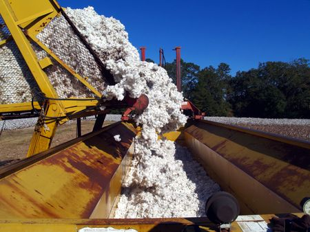cotton ball: A load of cotton being dumped from a boll buggy.