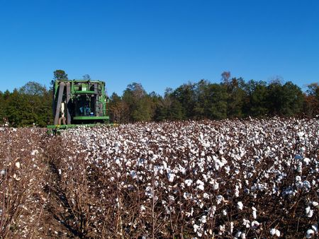 Farmer picking cotton with a cotton picker. photo