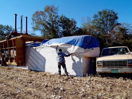 module: Farmer covering the newly made cotton module.