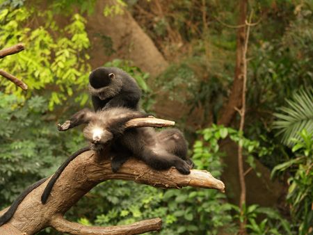 fleas: One monkey looking for fleas on another monkey,