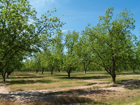 Mature pecan grove budding with new leaves in south Georgia during springtime.