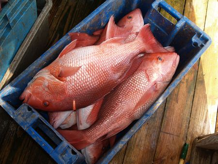 salt water fish: A days catch of large red snapper in a blue crate sitting on a dock which was caught in the Florida Gulf.