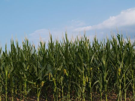 Rows of young corn stalks beneath a blue sky. Stockfoto