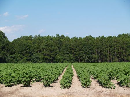row: A field of young immature green cotton plants  in south Georgia, USA. Stock Photo
