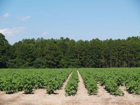 rows: Een veld van jonge onrijpe groene katoen fabrieken in South Georgia, USA.