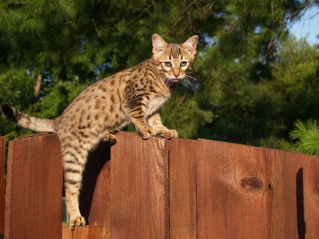 A spotted and striped gold colored male Serval Savannah kitten climbing on a wooden fence. Stockfoto