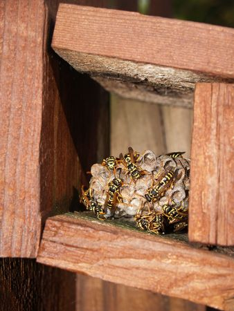 paper wasp: Many wasps working on their nest that is being built in a box.