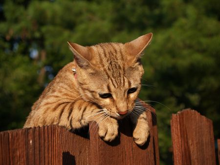 A striped gold colored female Serval Savannah cat looking down over a wooden fence wearing a pink collar.