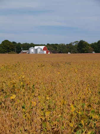 Ripening soybean field in front of red barn beneath a cloudy blue sky. photo