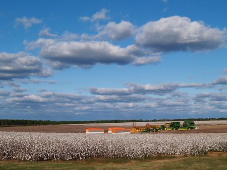 Country panorama of cotton fields at harvest time in south Georgia, USA underneath a cloudy blue sky.