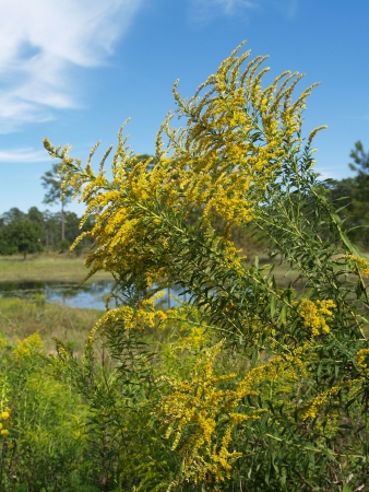 goldenrod: Yellow goldenrod from the thistle family, in front of a Florida wetland and bright blue sky