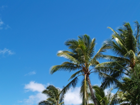 The top branches of palm trees photo
