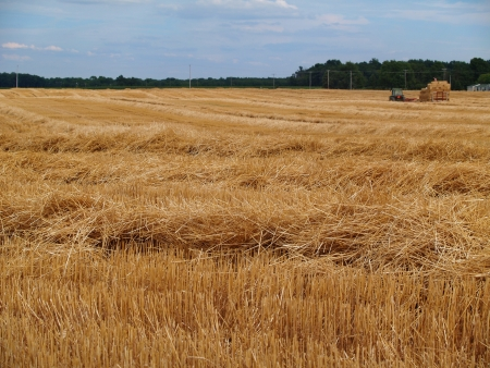 Tractor and baler working in a field of freshly cut wheat straw piled in rows ready to bale  photo