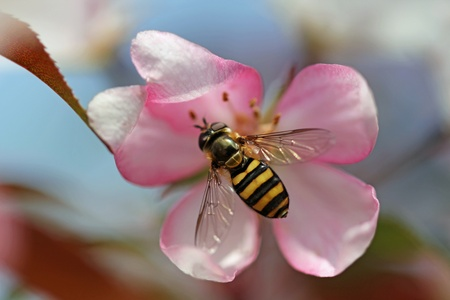 Bee gathering pollen from a pink crabapple blossom in the spring with copy space. photo