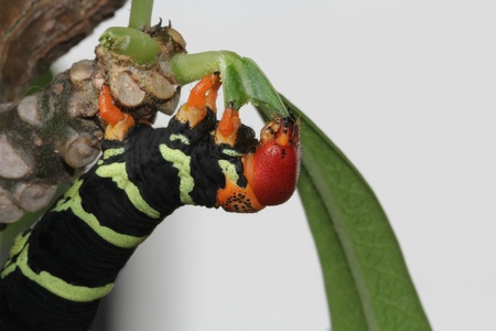 Colorful Tetrio Sphinx Caterpillar Eating photo