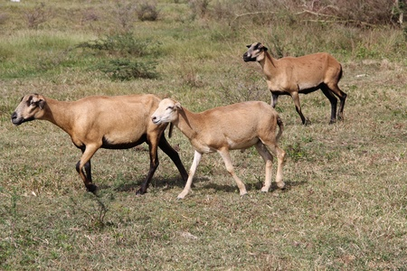 Three brown sheep grazing and roaming free in Antigua Barbuda, Caribbean Lesser Antilles West Indies, photo