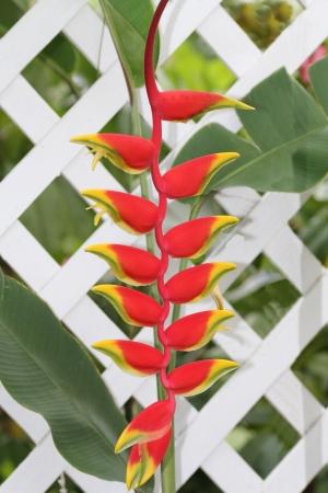 ave del paraiso: Bird Falso rojo y amarillo del paraíso en una valla de celosía blanca en Antigua Barbuda Antillas Menores, las Antillas, Caribe. Foto de archivo
