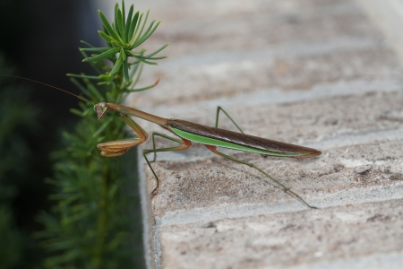 predatory insect: Brown and green praying Mantis  Mantis religiosa  outside on a brick window ledge is a stick insect