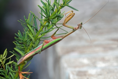 predatory insect: This Brown and green praying Mantis  Mantis religiosa  is a stick insect, that is hanging onto the underside of a bush stem next to a brick background copy space