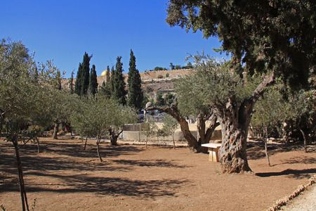 middle easter: Olive trees within the Garden of Gethsemane which means oil press in Israel