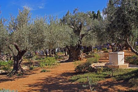 Olive trees within the Garden of Gethsemane which means oil press in Israel 版權商用圖片 - 27583907