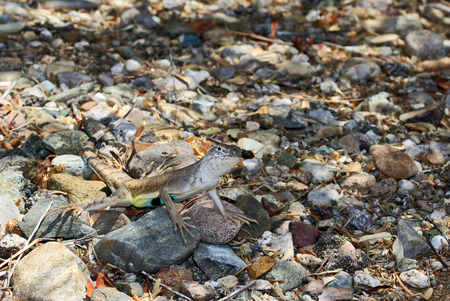 camouflaged: Brown lizard with a colorful belly camouflaged on desert rocks in Arizona