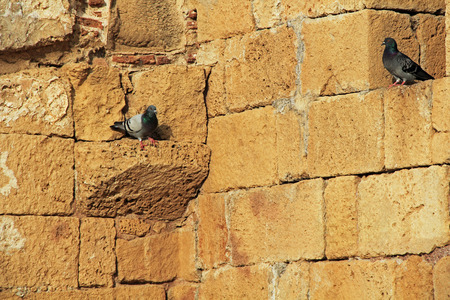 greco roman  roman: Pigeons on wall ruins in Caesarea Maritima National Park, a city and harbor built by Herod the Great about 25-13 BC. The archaeological ruins are on the Mediterranean coast of Israel and it was the administrative capital. Stock Photo