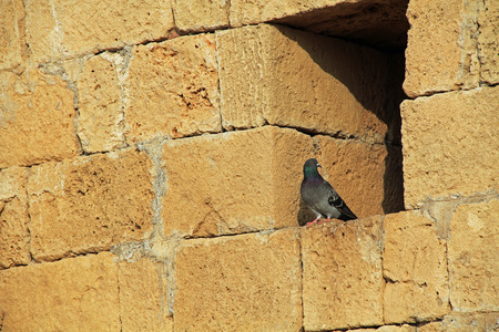 Pigeon on wall ruins in Caesarea Maritima National Park, a city and harbor built by Herod the Great about 25-13 BC. The archaeological ruins are on the Mediterranean coast of Israel and it was the administrative capital. photo