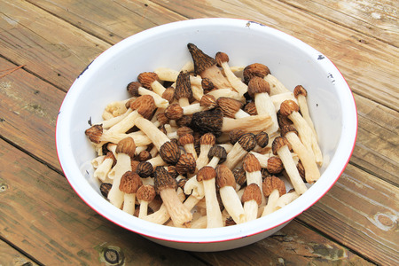 White dishpan with morel mushrooms also known by many unique names such as dryland fish molly moochers hickory chicken merkels muggin and miracle. Stock Photo