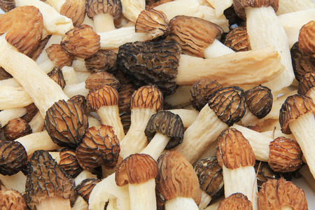 honeycombed: Closeup of a bunch of wild morel mushrooms. Stock Photo