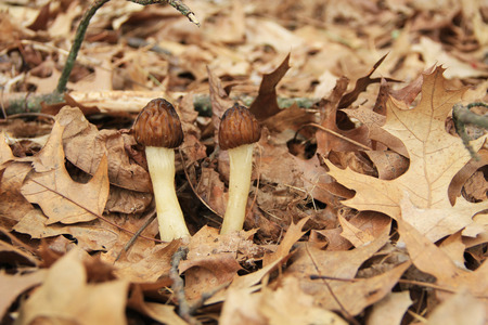 molly fish: Closeup of wild halfcap morel mushrooms in a wooded area.