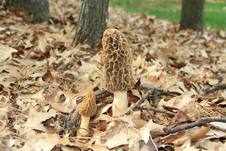 Closeup of a huge wild morel mushroom in a wooded area.