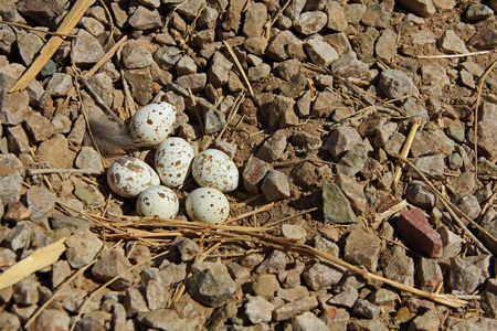 quail nest: A Gambels Quail nest with six brown spotted egg on a rocky ground.