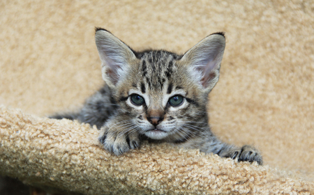Savannah cat. Beautiful face of a spotted and striped gold colored Serval Savannah kitten with blue eyes relaxing on a cat tree shelf.