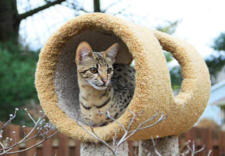 Savannah cat. A spotted and striped gold colored Serval Savannah kitten resting on a cat tree outside.