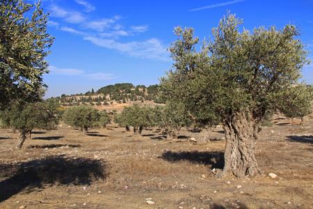 judea: A mature olive tree grove between Bethlehem and Jerusalem, Israel.