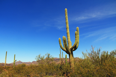 creosote: Large Saguaro cactus with arms and blue sky copy space near Tillotson Peak in Organ Pipe Cactus National Monument in Ajo, Arizona, USA including a large assortment of desert plants, which is a short drive west of Tucson.