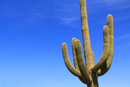 sonora: Large Saguaro cactus with arms and blue sky copy space near Tillotson Peak in Organ Pipe Cactus National Monument in Ajo, Arizona, USA which is a short drive west of Tucson.