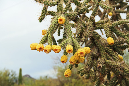 Yellow fruit of a cactus known as the cane cholla, walking stick cholla, or the chainlink cactus, with a light colored sky copy space in Saguaro National Park, Tucson, Arizona, USA.