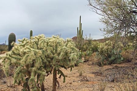 cholla: Teddybear Cholla Cactus in the Sonoran Desert Stock Photo