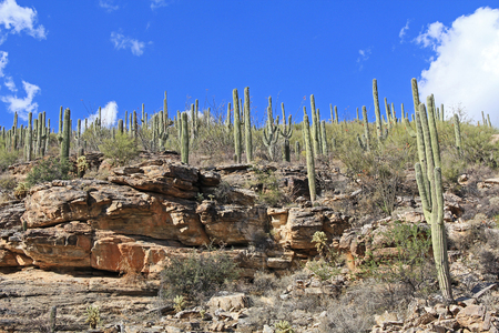 Many Saguaro Cactus on top of a rocky hill on Mount Lemmon in Tucson, Arizona, USA in the Santa Catalina Mountains located in the Coronado National Forest with blue sky copy space. Stock Photo
