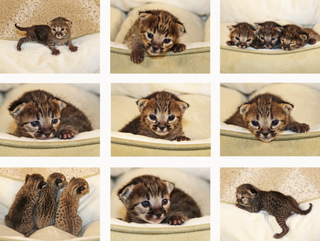 A collage of one week old domestic serval savannah kittens.