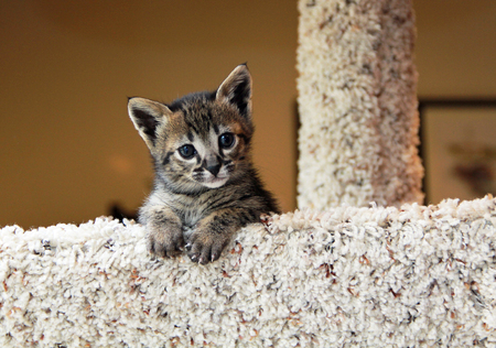 Cute spotted and striped domestic Serval Savannah kitten on a cat tree.
