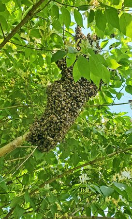A new colony of honey bees swarming on a tree limb with honeysuckle.