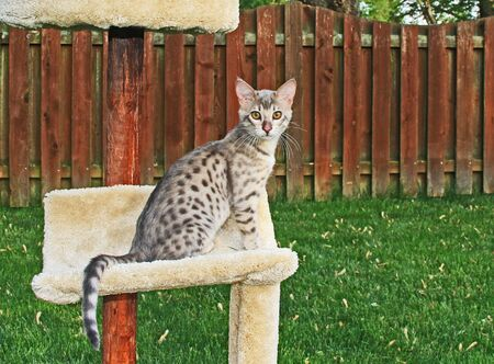 F4 Gray or also known as a blue, black spotted Savannah kitten with orange eyes, bred from a wild African serval sitting outside on a cat tree.